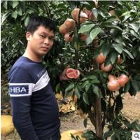 台湾三红蜜柚葡萄柚 西柚 红心葡萄柚子苗 红心红肉西柚苗果树苗