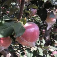 2020山东红富士苹果 新鲜脆甜多汁水果 果园新鲜红富士苹果批发