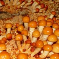 供应 东北特产新鲜滑子菇绿色生态滑子蘑新鲜采摘菇滑菇