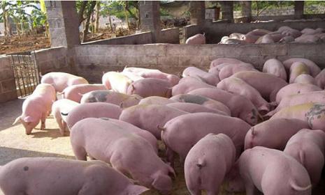 """广西实施""""铁桶计划""""加快恢复生猪生产"""