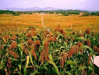 靖边:藜麦产业让群众日子越过越红火