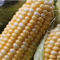 产地货源云南水果玉米9斤装甘甜多汁可生吃甜玉米棒 新鲜水果批发
