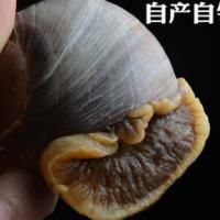 玉螺肉 香螺肉 酒店海鲜食材 烧烤海鲜 海螺肉 贝类海鲜火锅海鲜
