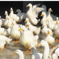正宗樱桃谷鸭种蛋受精蛋活体可孵化新鲜白鸭蛋北京白鸭肉鸭种鸭蛋