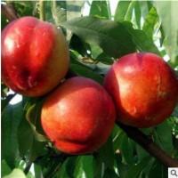 预售 果园现摘现发黄心油桃当季新鲜水果鲜甜爽口整箱包邮 批发