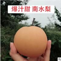 烟台特色南水梨5斤包邮山东脆甜莱阳梨可带皮吃非秋月梨新鲜水果