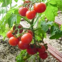红圣女果 红色小番茄小西红柿 水果批发新鲜蔬菜产地直供