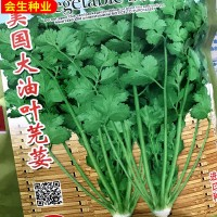 批发蔬菜种子 叶大香菜种子 抗热抗抽苔香菜 四季可播 芫荽种子