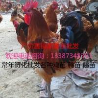 青脚土鸡苗厂价批发黄麻羽青脚土鸡品质保证疫苗到位有车直达包运