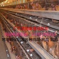 麻羽高产绿壳蛋鸡苗批发价格下绿壳蛋疫苗到位品质保证包运输成活