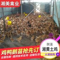 优质淮南王土鸡苗脱温乌皮红冠土鸡活体全程技术支持可先学习再养