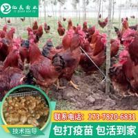 亿展禽苗孵化场常年出售红玉鸡苗 快大黄鸡苗 红鸡苗多少钱