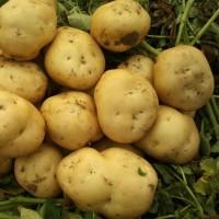 产地批发马铃薯新鲜蔬菜土豆荷兰十五 出口级农产品定做加工储存