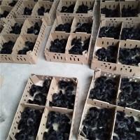 今天五黑一绿绿壳蛋鸡苗价格是多少 近期麻羽绿壳蛋鸡苗价格行情