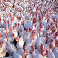 高存活优质火鸡苗 厂家供应贝蒂娜火鸡脱温苗 尼古拉商品火鸡