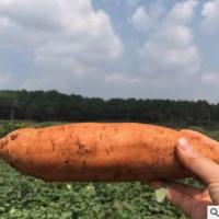 黄山西瓜红蜜薯甜糯绵软无筋-精品装/5斤/箱