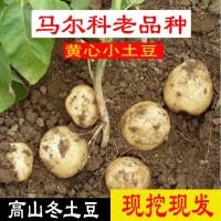重庆梁平高山土豆农家自种皮黄肉黄清香味口感好蟠龙山马尔科洋芋
