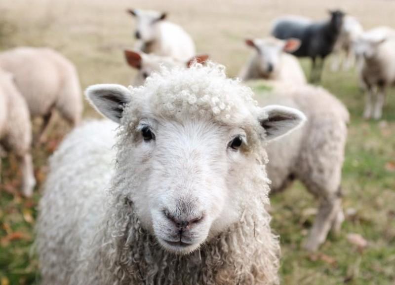 绵羊冬季脱毛的原因及应对方法