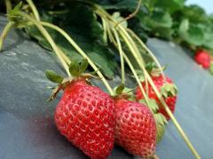 我国草莓主产区在哪?有哪些好吃的品种?